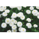 Graines de Achillea ptarmica The Pearl