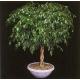 Graines de Ficus benjamina
