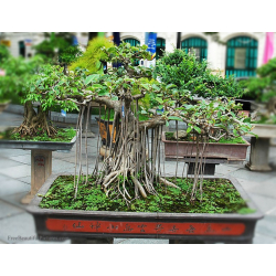 Graines de Ficus religiosa