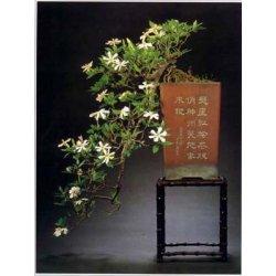 Graines de Gardenia jasminoides