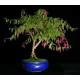 Graines de Fuchsia magellanica