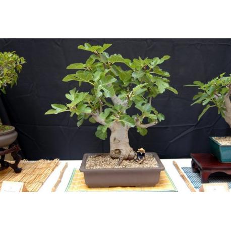 Graines de Ficus carica
