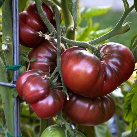 Graines de Tomate Noire de Crimée
