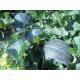 Graines de Melon Petit gris de Rennes