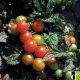 Graines de Tomate Midibelle