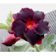 Graines de Adenium Fleur de Velours