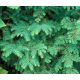 Graines de Metasequoia glyptostroboides 80%