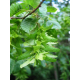 Graines de Carpinus betulus