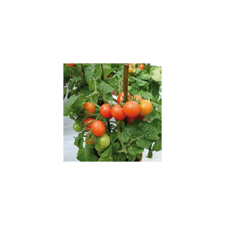 Graines de Tomate Red Robin