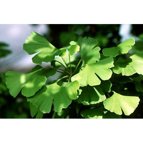 Achat Ginkgo Biloba - Difficultés d'attention, de mémoire