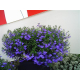 Graines de Lobelia riviera Midnight Blue