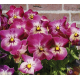 Graines de Viola cornuta Valentine