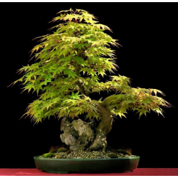 Graines de Acer palmatum