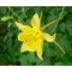 Graines de Ancolie Chrysantha Yellow Queen
