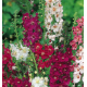 Graines de Verbascum phoeniceum
