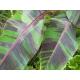 Graines de Musa sikkimensis red