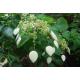 Graines de Schizophragma integrifolium