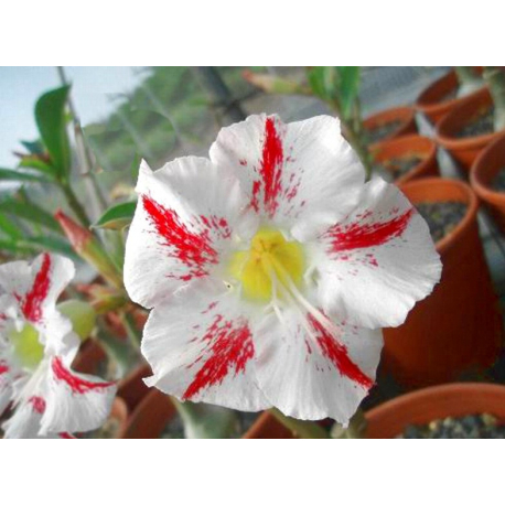 Graines de Adenium Garden party