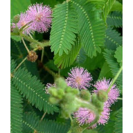 Graines de Mimosa pudica