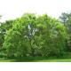 Graines de Ulmus parviflora