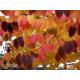 Graines de Cercidiphyllum japonicum