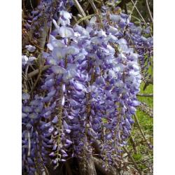 Graines de Wisteria sinensis blue