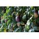 Graines de Passiflora edulis géant mauve