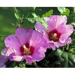 Graines de Hibiscus syriacus