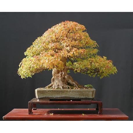 Graines de Acer ginnala