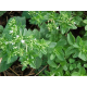 Graines de Stevia rebaudiana