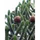 Graines de Araucaria araucana