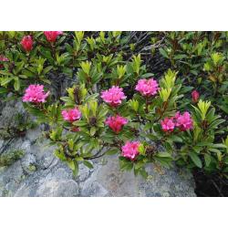 Graines de Rhododendron ferrugineum