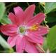 Graines de Passiflora mollissima