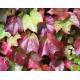 Graines de Parthenocissus tricuspidata veitchii