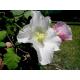 Graines de Hibiscus mutabilis