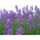 Graines de Lavandula angustifolia vera