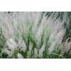 Graines de Calamagrostis brachytrica
