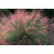 Graines de Muhlenbergia capillaris