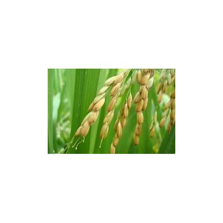 Graines de Oryza sativa