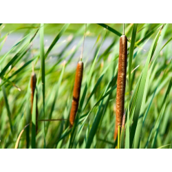 Graines de Typha angustifolia