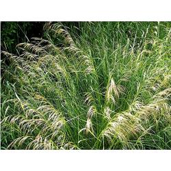 Graines de Deschampsia caespitosa