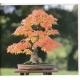 Graines de Acer saccharum