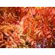Graines de Pistacia chinensis