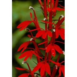 Graines de Lobelia cardinalis