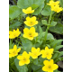 Graines de Caltha palustris