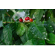 Graines de Coffea arabica