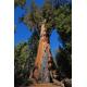 Graines de Sequoiadendron giganteum