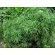 Graines de Cyperus alternifolius