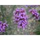 Graines de Verbena bonariensis