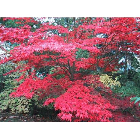 Graines de Acer palmatum atropurpureum